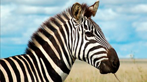 When you hear hoofbeats, think of horses, not zebras!