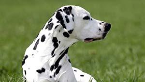 Список пород собак на английском языке с переводом