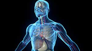 Слова на английском с переводом —  Скелет, тело и внутренние органы человека